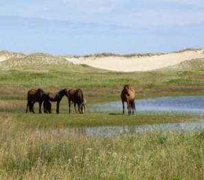 Пони, остров Сэйбл, Новая Шотландия
