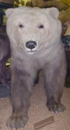 grolar bear - гибрид гризли и полярного медведя