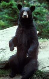 Барибал или чёрный медведь в Онтарио