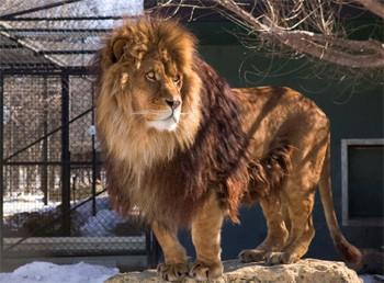 Африканский лев, зоопрарк Ассинибойн, Виннипег