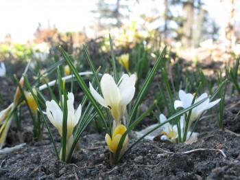 канадские цветы