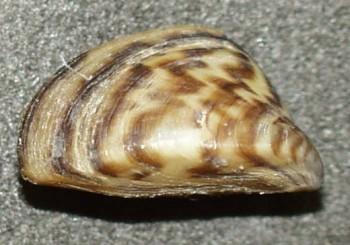мидия зебры речная дрейссена Zebra mussel Манитоба