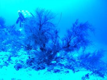 чёрный коралл