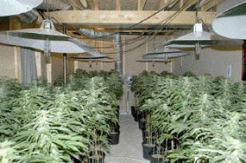 марихуана, рекордная партия, партия наркотиков, полиция Альберта Канада