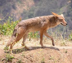 Койот луговой волк