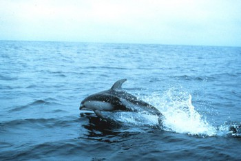 Тихоокеанский белобокий дельфин
