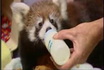 Виннипег  малая панда красная панда зоопарк