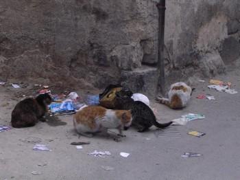 сто тысяч бродячих кошек в Торонто нуждаются в TNR