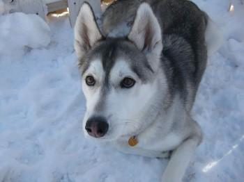 Собака породы Сибирский Хаски. Канада