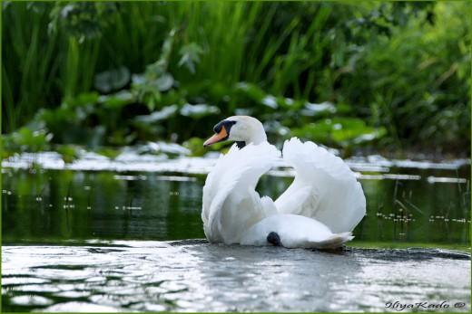 Лебеди Оттава Канада